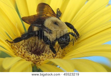 Bumble Bee And Yellow Flower