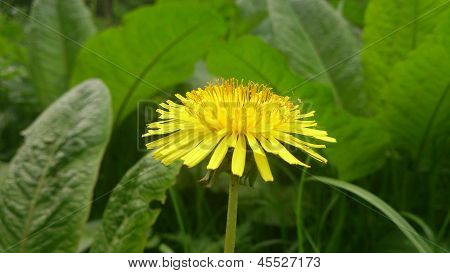 Yellow dandelion isolated on green background with petals