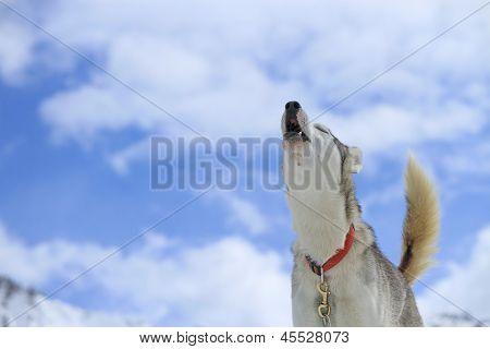 Husky siberiano cachorro uivando