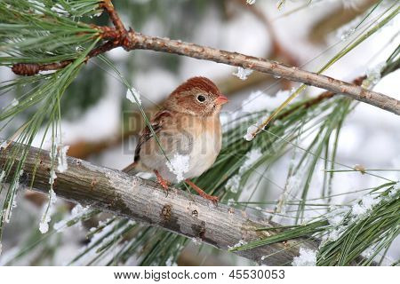 Field Sparrow (spizella Pusilla) On A Snow-covered Branch