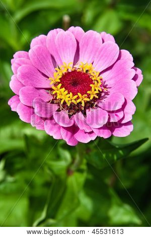 Purple Flower Zinnia