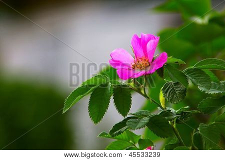 leaves of wild rose pink summer flower green background wallpape