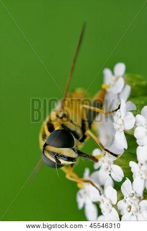 Ribesii   On A White Yellow Flower