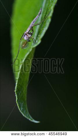 Chironomidae Chironomus