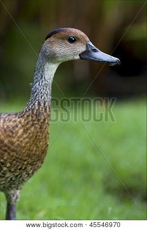 Of Duck Whit Black Eye In Bush