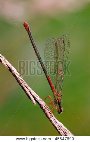Wild  Red Black Dragonfly