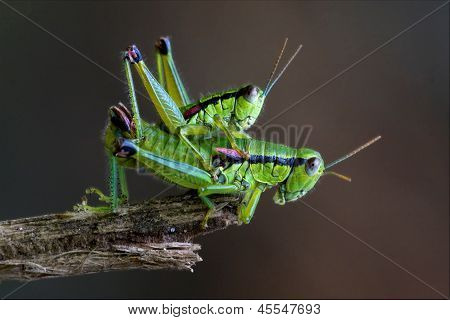 Two Grasshopper Orthopterous Mating