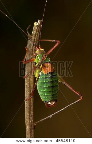 Close Up Of Grasshopper  Tettigoniidae On