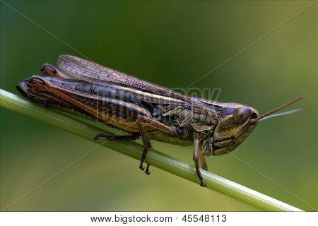 Grasshopper Chorthippus Brunneus In A