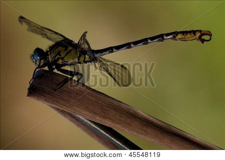 Side   Wild  Yellow Black Dragonfly Anax Imperator On
