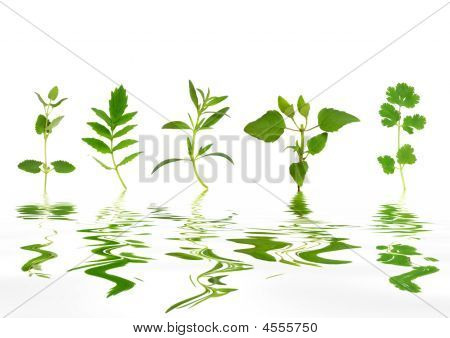 Abstract Herb Leaves