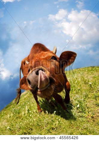 Funny Cow Snout