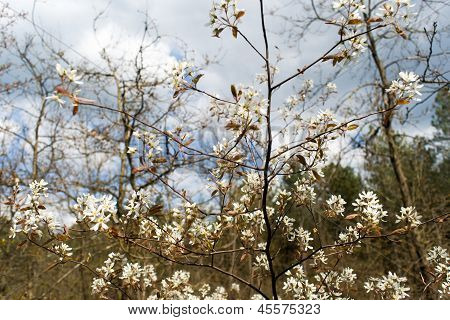 White Blossom In Tree