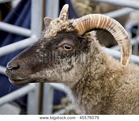 Close up of a goat