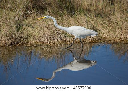 A Determined Great Egret