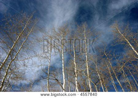 Aspen Treetops