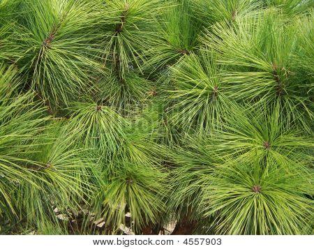 Pine Leaves
