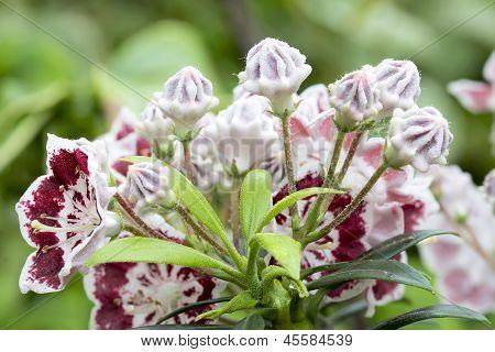 Mountain Laurel Flowers Minuet Closeup