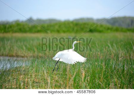 Intermediate Egret Bird Is At Wetland