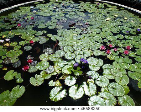 Water lilies on circular pond