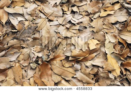 Dried Brown Leaves