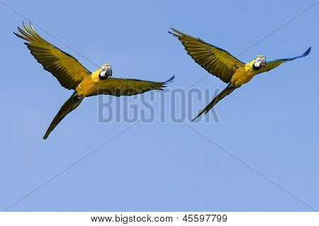 Two Macaw Parrots In Flight