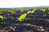 pic of rich soil  - Crops planted in rich soil get ripe under the sun fast