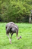 pic of ostrich plumage  - Details of an ostrich in captivity in grassland - JPG