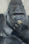 foto of excrement  - A big silverback gorilla eating his own excrement - JPG