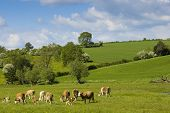Healthy Cattle Livestock, Idyllic Rural, Uk.