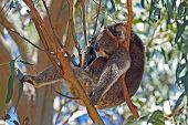 stock photo of koala  - Relaxing Koala in a blue gum tree - JPG