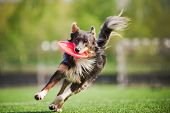 stock photo of jumping  - funny border collie dog brings the flying disc in jump - JPG