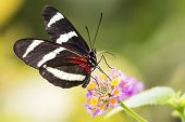 picture of dory  - Heliconius Doris butterfly on a colorful plant - JPG