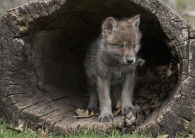 image of hollow log  - Young gray wolf - JPG
