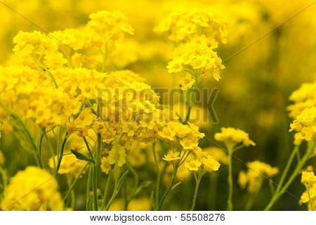 Basket Of Gold, (Aurinia Saxatilis) In Spring