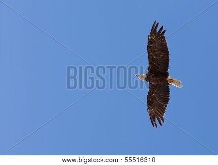 American Bald Eagle Soaring