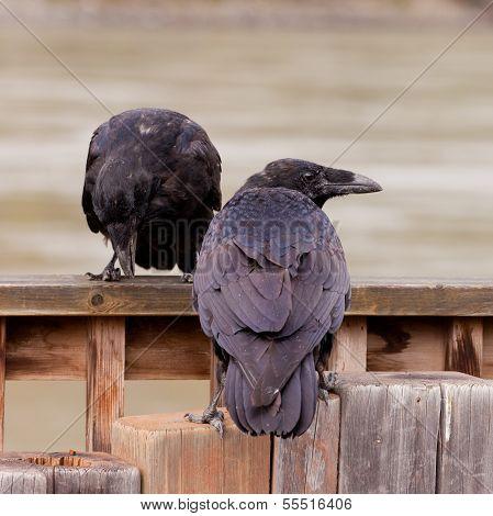 Two Common Ravens Corvus Corax Interacting