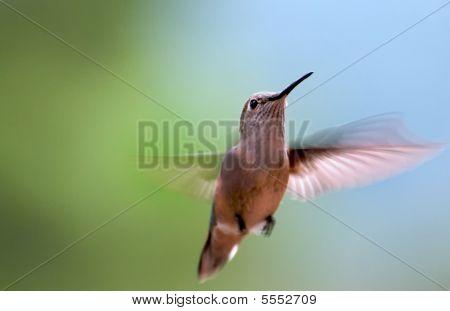 Hovering Humingbird