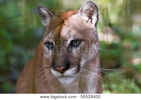 Cougar Close Up