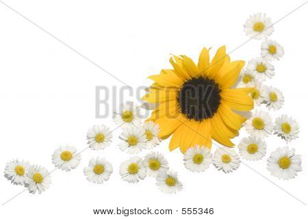 Border Daisies Sunflower