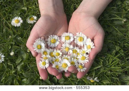 Summer Daisies 1
