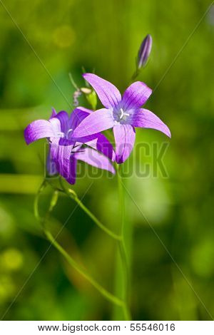 Delicate Campanula Patula Close Up Image With Soft Selective Focus.