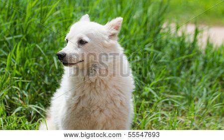 Cute Shih Tzu Breed Dog