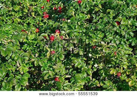 Bush Dogrose
