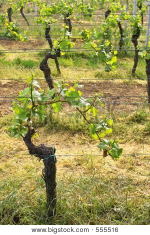 Wineyards In Spring