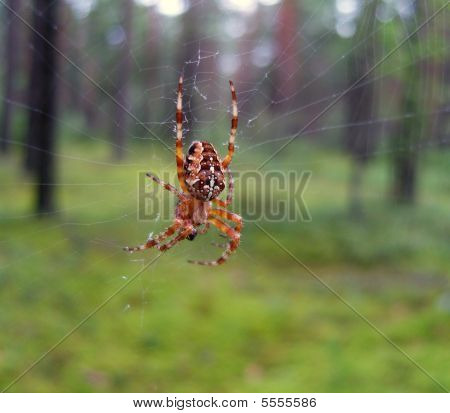 The Spider In A Forest.
