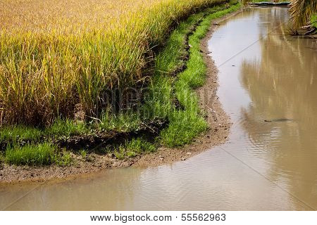 Golden Rice Fields Along The Canal Side