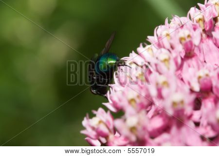 Greenbottle Fly 'blow Fly' (phaenicia Sericata)