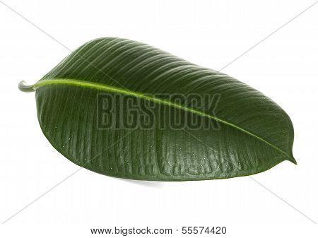 Green Leaf Ficus