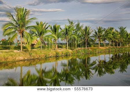 Coconut Palms near the canal